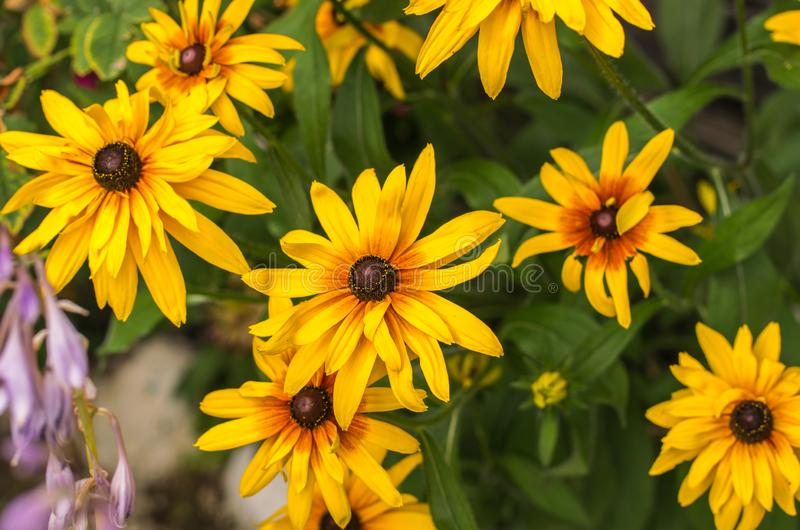Yellow Rudbeckia coneflowers, black-eyed-susans flowers close-up. Rudbeckia in the garden. Rudbeckia in the garden. Yellow-brown flowers with outstanding seed royalty free stock image