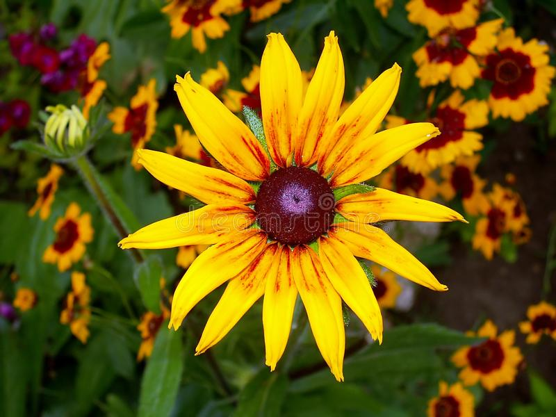Download Yellow Rudbeckia And Coreopsis Stock Photo - Image of blossoms, meadow: 4242566