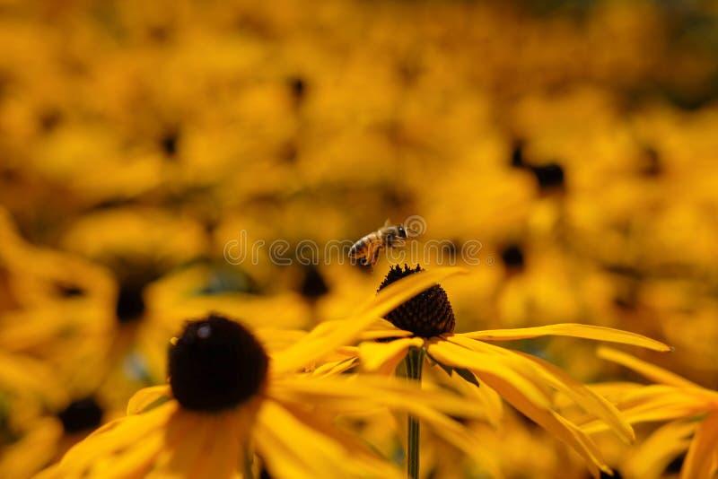 Yellow rudbeckia fulgida goldsturm flowers with a honeybee royalty free stock image