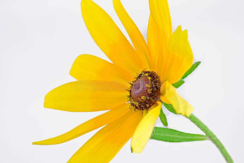 Yellow Rudbeckia hirta royalty free stock photos
