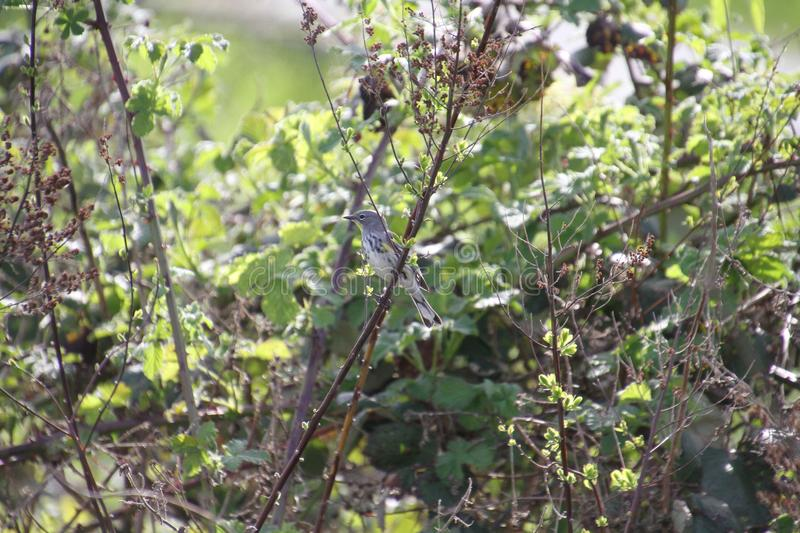 A yellow rumped sparrow perched on a tree branch. A yellow rumped sparrow perched on a branch on a sunny day stock images