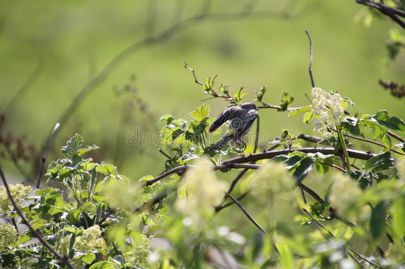 A yellow rumped sparrow perched on a tree branch. A yellow rumped sparrow launching itself off of a tree branch with a meadow in the background stock images