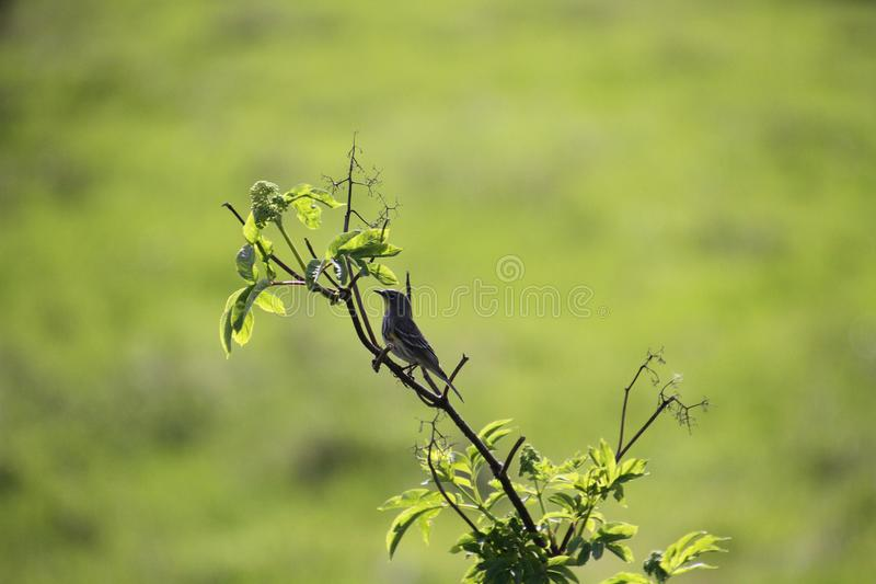 A yellow rumped sparrow perched on a tree branch. With a meadow in the background stock image