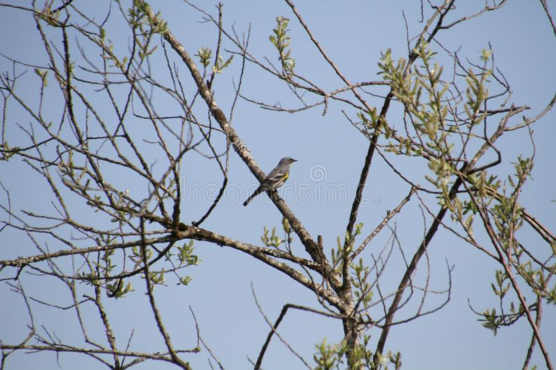 A yellow rumped sparrow. Sitting on a branch with a clear blue sky in the background royalty free stock image