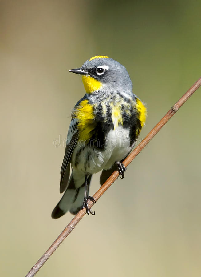 Free Yellow Rumped Warbler Royalty Free Stock Photography - 64140887
