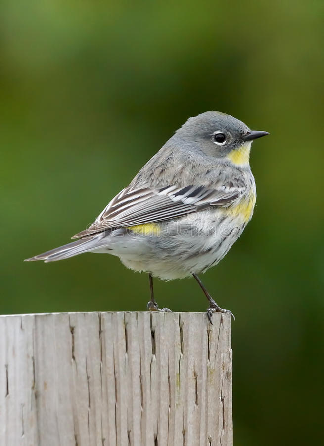 Warbler Small Bird. Adorable little Yellow Rumped Warbler sitting on a fence post with a green background royalty free stock photos