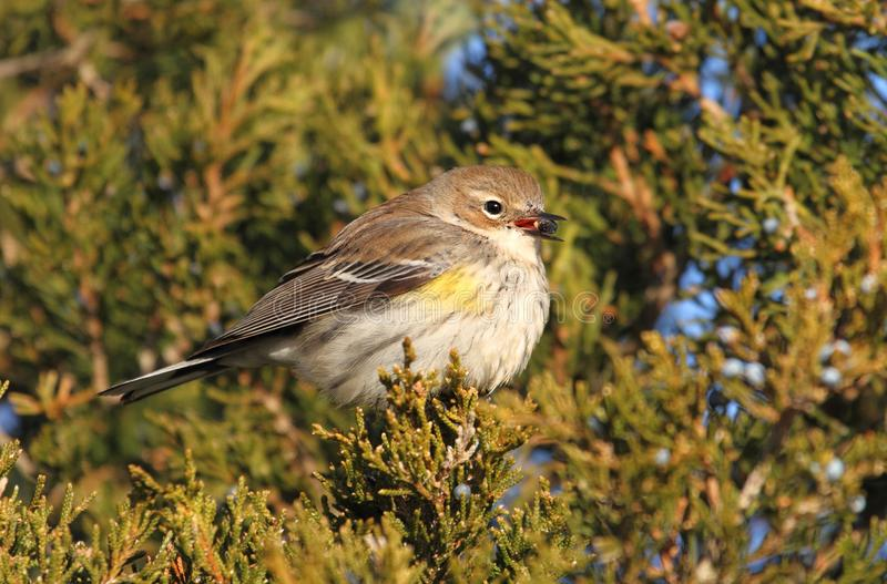 Yellow-rumped Warbler (Dendroica coronata). Perched in a cedar tree royalty free stock image