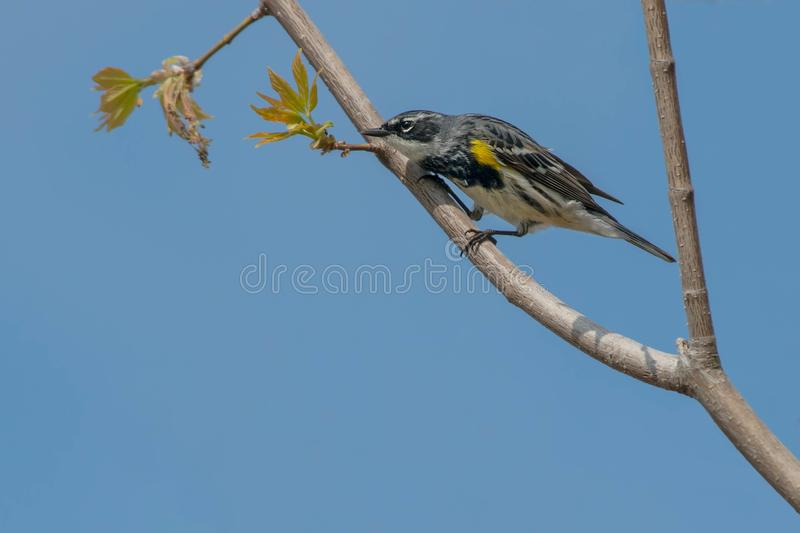 Yellow-rumped Warbler. Male Yellow-rumped Warbler perched high up on a branch looking around to find his next meal.Tommy Thompson Park, Toronto, Ontario, Canada stock photography