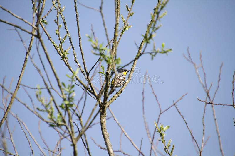 A yellow rumped warbler perched on a branch. With blue sky in the background stock images