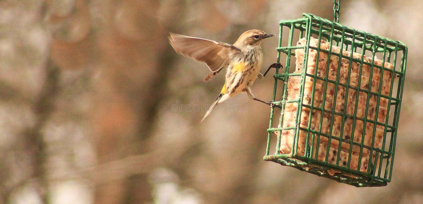 Yellow rumped Warbler wings out. Yellow rumped Warbler at a suet feeder with one of his wings out trying to get more food royalty free stock images