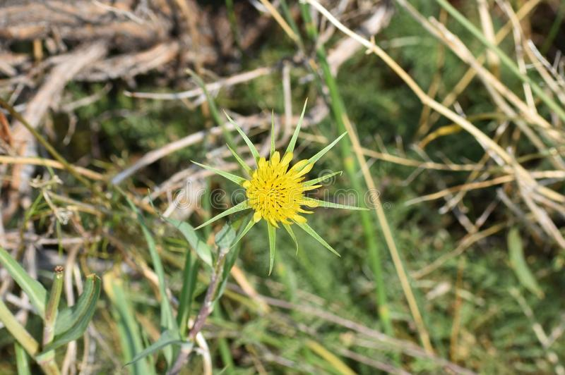 Yellow salsify flower. The star-shaped salsify flower is common sight in the Bighorn Mountains and on the Wyoming plains stock image