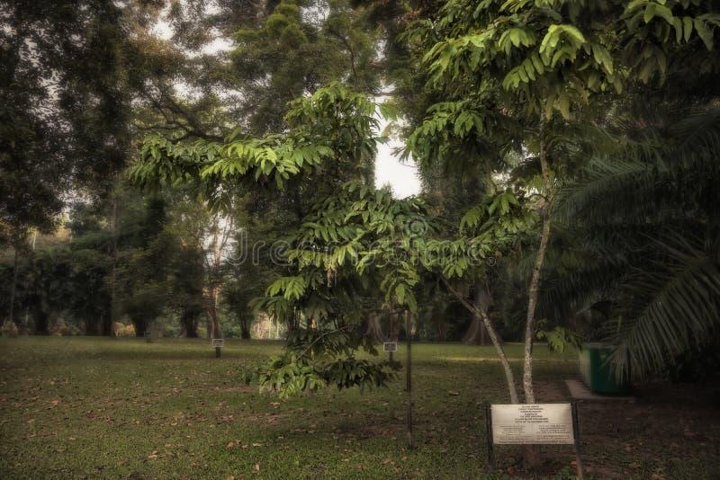 Yellow Saraca tree planted by Yuri Gagarin in Royal Garden Peradeniya in Sri Lanka nearby Kandy. Yellow Saraca tree planted by Yuri Gagarin in Royal Botanical stock photography