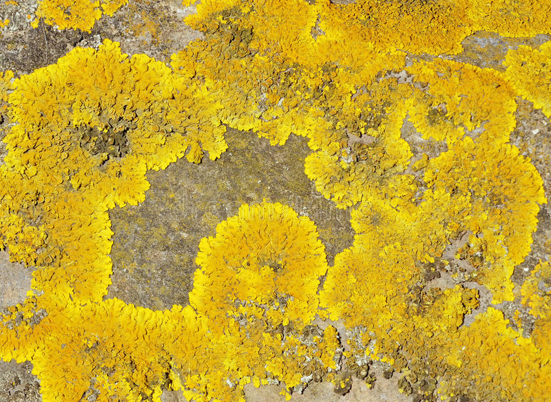 Yellow Scales Lichen royalty free stock images