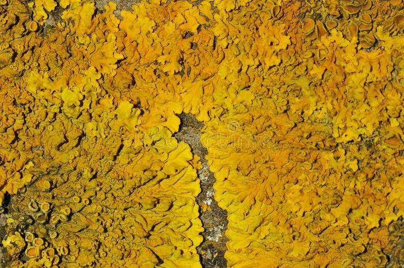 Yellow Scales Lichen. On rock - Xanthoria parietina stock image