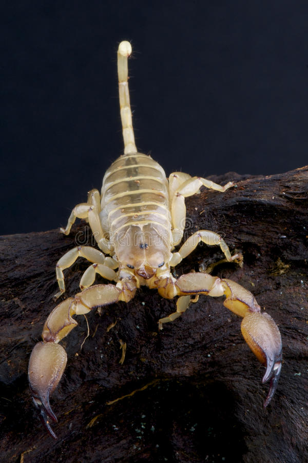 Download Yellow Scorpion stock photo. Image of telson, stung, injecting - 24985798