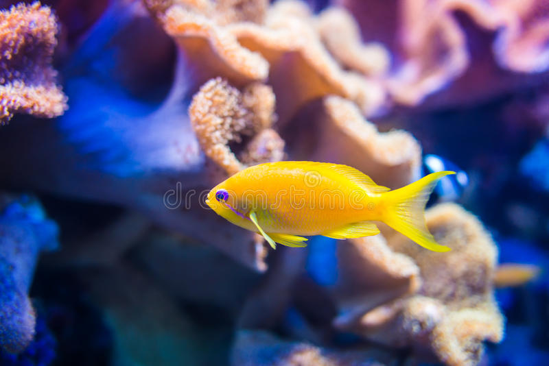 Yellow sea goldie fish on orange and pink coral background royalty free stock image