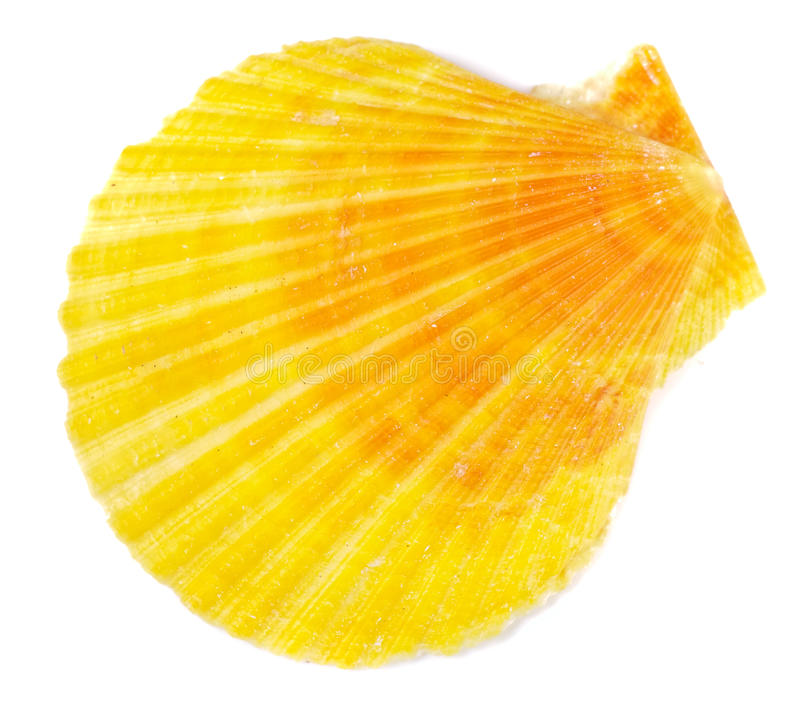 Yellow sea shell. On white background. Studio shot, not isolated stock images