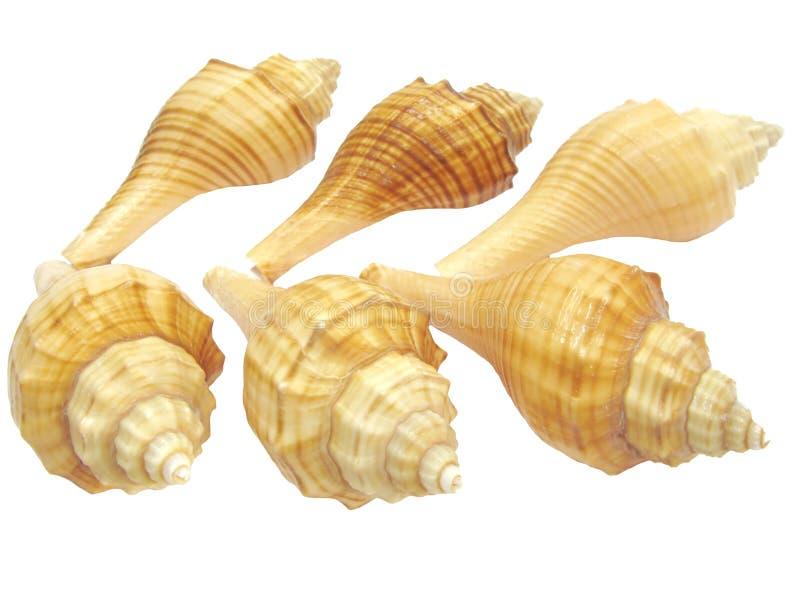 Download Yellow sea shells stock photo. Image of isolated, hemifusus - 13857414