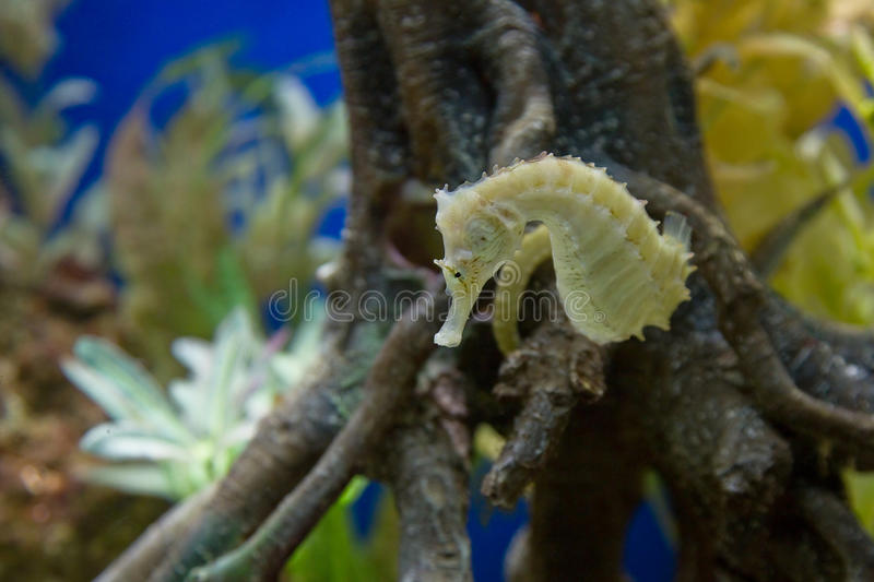 Yellow Seahorse royalty free stock photography