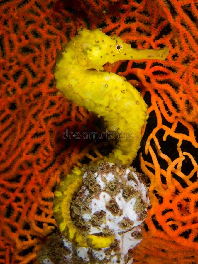 Yellow Seahorse stock photo