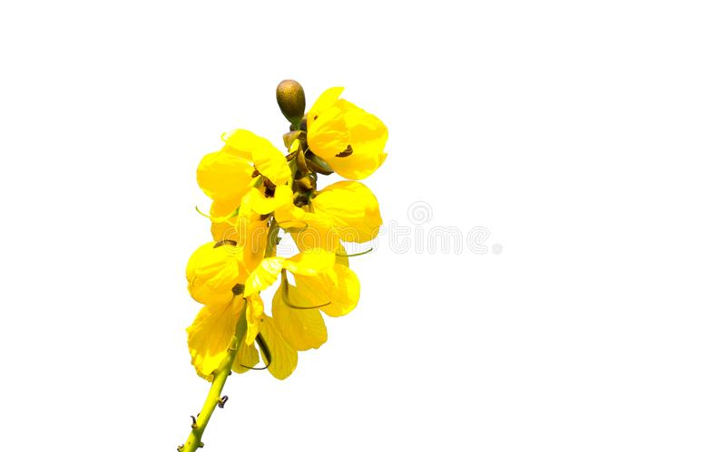 A Yellow Senna didymobotrya flower is a species of flowering plant in the legume family known by the common names African senna. stock illustration