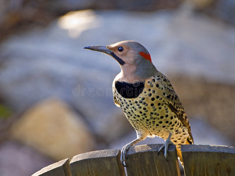 Yellow shafted flicker perched on a chair stock images