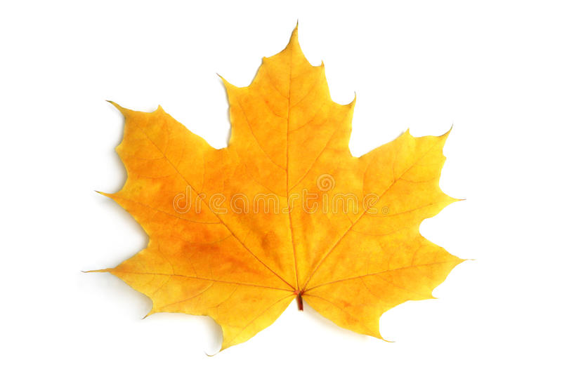 Download Yellow sheet of a maple stock image. Image of tree, leaf - 11275007