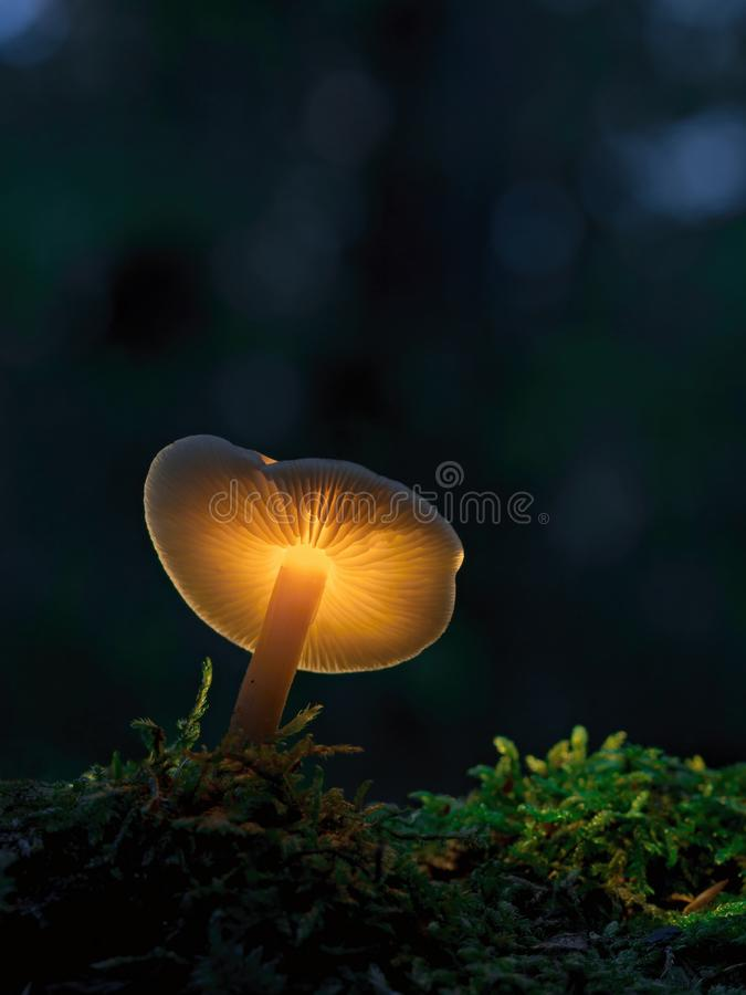 Yellow shining mushroom in the early evening forest. Shining mushroom in the early evening forest stock photo