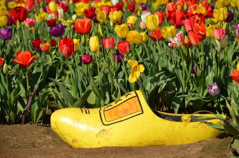 Yellow Shoe at Wooden Shoe Tulip Farm, Woodburn, OR. This is a yellow wooden shoe in the tulip fields at Wooden Shoe Tulip Farm near Woodburn, Oregon. It`s about stock image