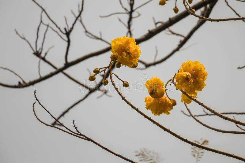 Yellow silk cotton tree flower with in gray sky background. Cochlospermum religiosum or buttercup tree royalty free stock photo