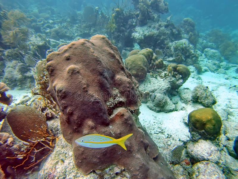Fish on a coral head in the Bay Islands of Belize stock image