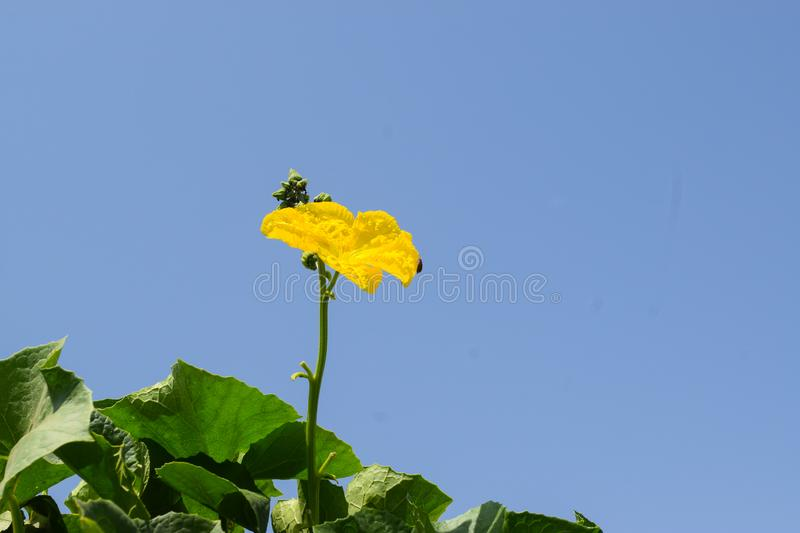 Yellow single flower with blue sky clean background. Blue sky royalty free stock photography