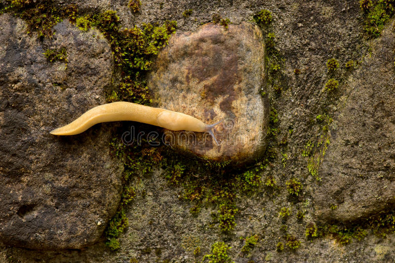 Yellow slug. On the rocks after rain royalty free stock image