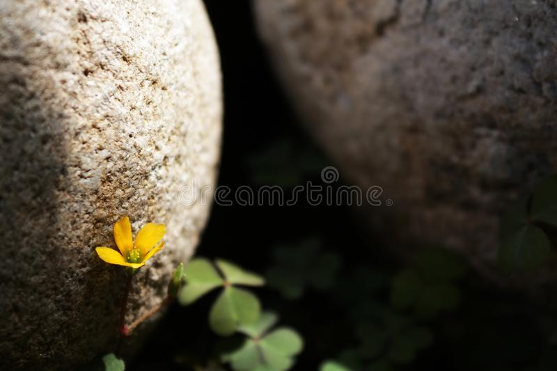 A yellow small flower with stones on the background royalty free stock photography
