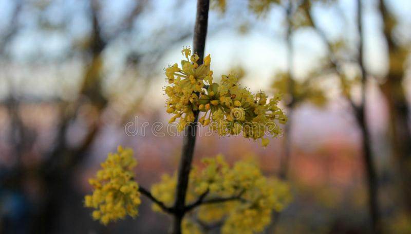 Yellow small flowers on the tree, dogwood. Yellow bright inflorescences, tree fruit tree, photo for design and background, spring photography, garden, bright stock image