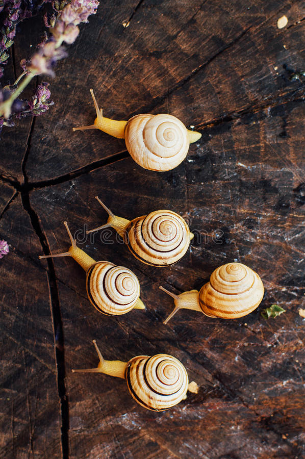 Yellow snails walking around the garden. Snail on the tree in th. E garden. Snail gliding on the wet wooden texture. snail Catch the stump,snail,beautif ul snail stock photography