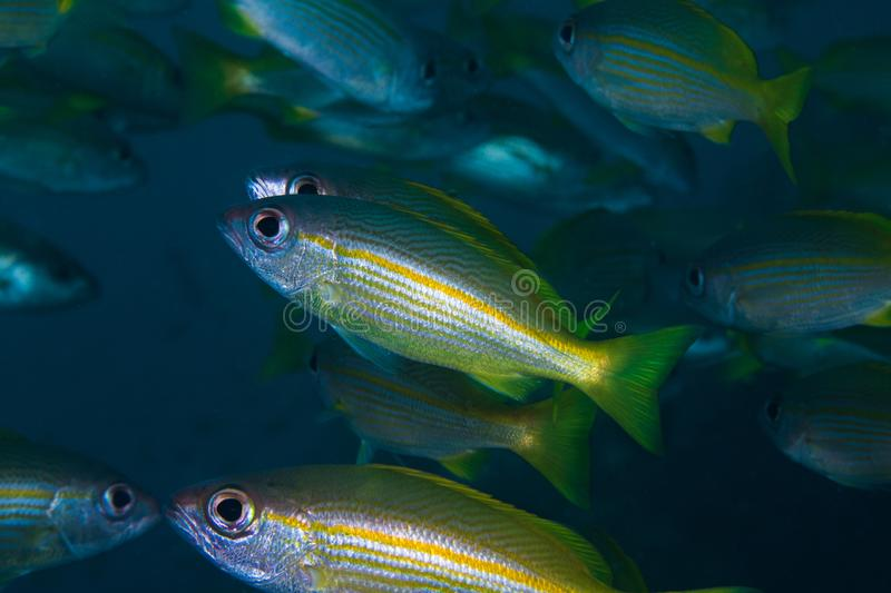 Yellow snapper or Bigeye snapper fish stock images