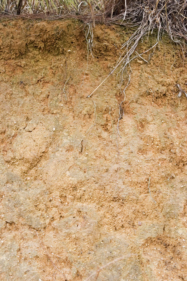 Yellow soil and grass root. Yellow red soil under winter grass.Root of the grass lawn can be seen stock photo