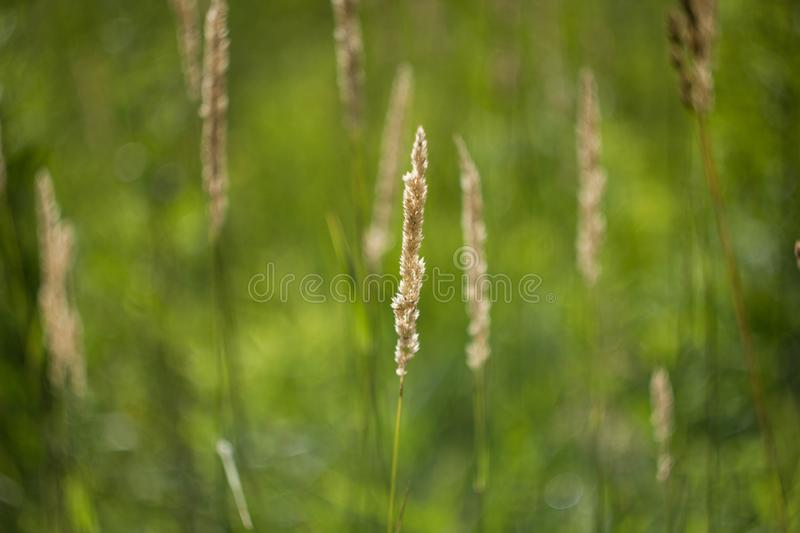 Yellow spike on natural green background.Close up. Beautiful field grass. Anthoxanthum stock photo