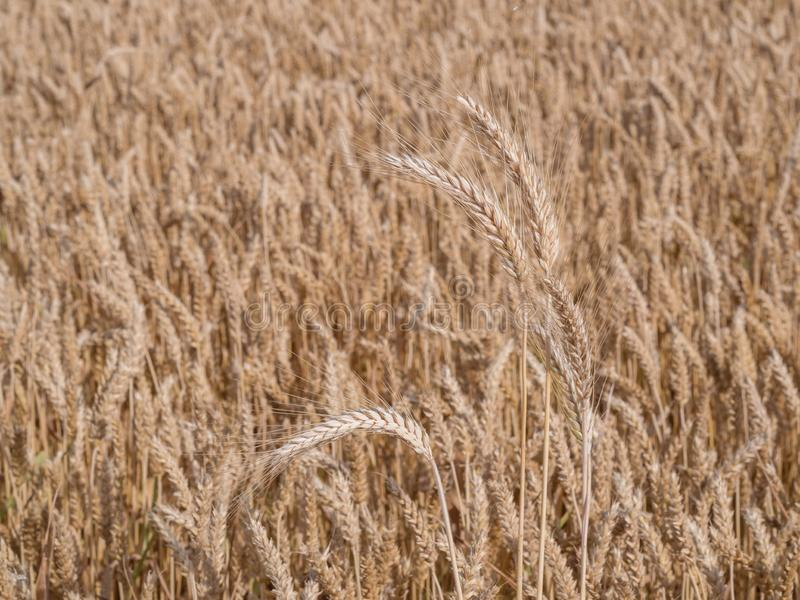 Golden wheat field ready to harvest royalty free stock photo