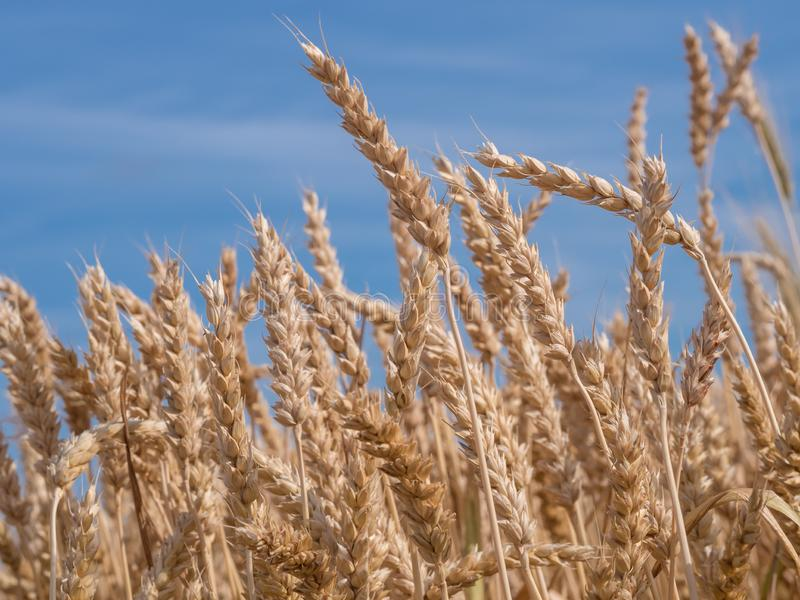 Golden wheat field ready to harvest agains a blue, clear sky royalty free stock photos