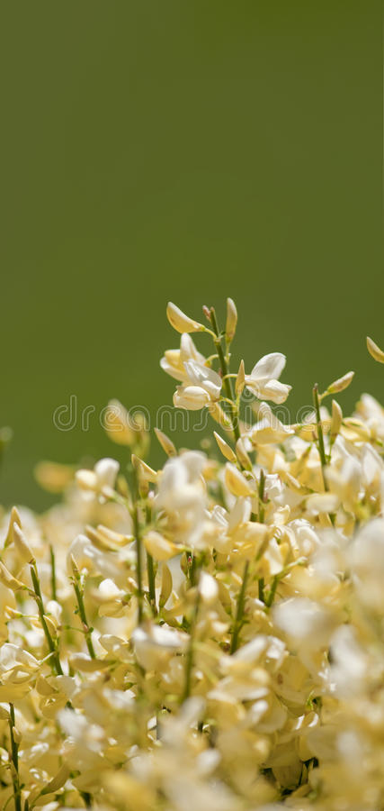 Yellow Spring Bud flowers on isolated background. stock photo