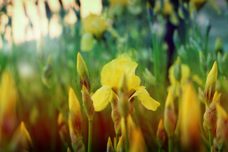 Yellow spring flowers in a garden. iris flower royalty free stock image