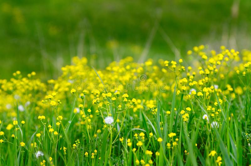 Yellow spring flowers and green grass stock image