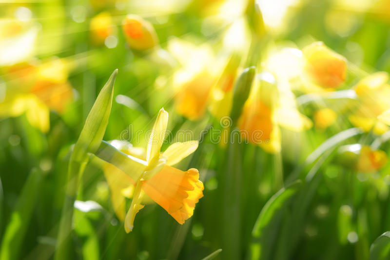 Yellow spring flowers narcissus daffodils with bright sunbeams. Yellow spring flowers of narcissus daffodils on sunshine meadow with bright backlit sunbeams sun stock photography
