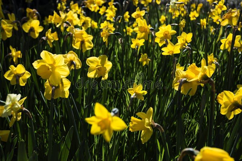 Beautiful daffodil flowers in the garden stock photos