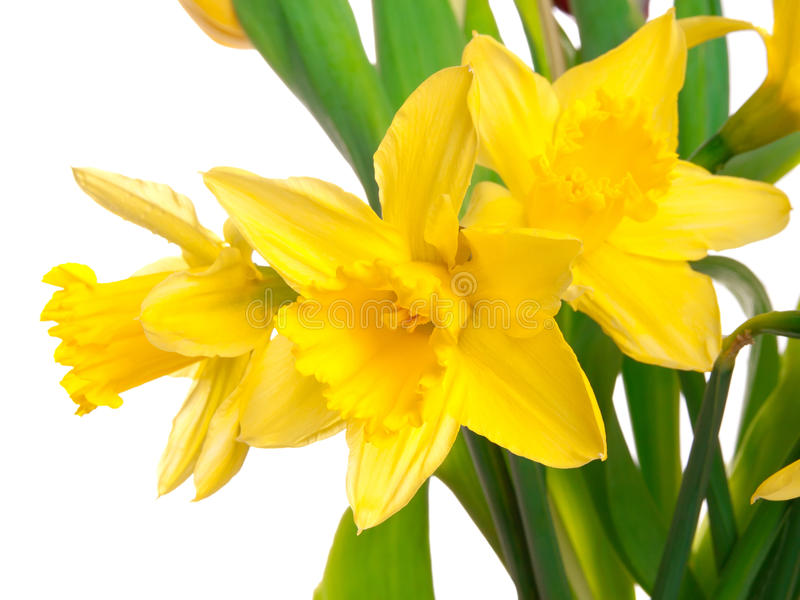 Yellow spring narcissus. Isolated on white background royalty free stock photography