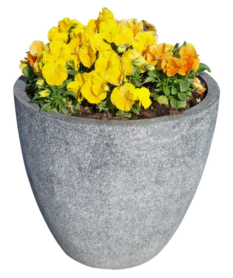 Yellow spring pansies grow in street concrete flower pot. stock photography