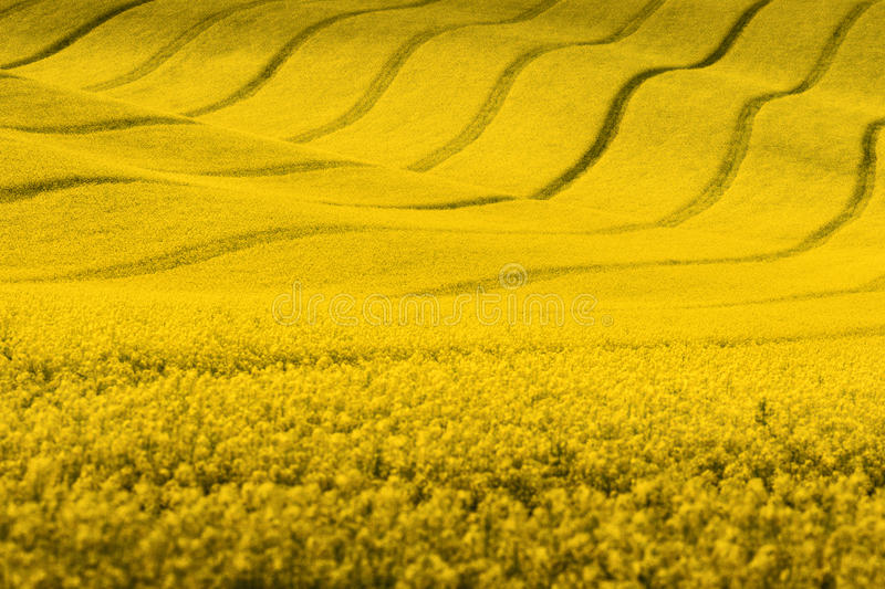 Yellow spring landscape.Rapeseed field with wavy abstract landscape pattern stock image