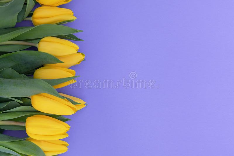 Yellow tulips on the light violet background with copy space stock images